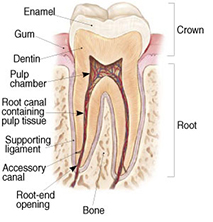 root canals explained 1